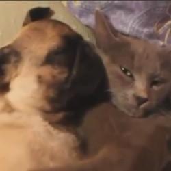un carlin s'endort avec un chat