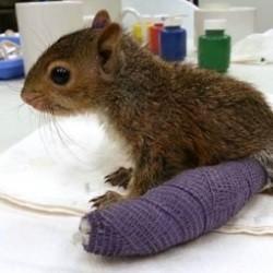 bébé écureuil avec plâtre