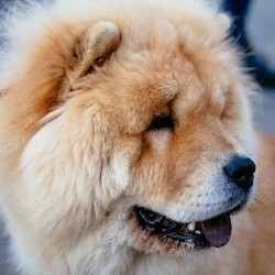 Chow chow mue