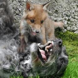 chien et renardeau