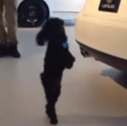 Le chien qui marche sur deux pattes