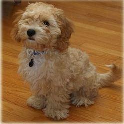 cavapoochon, nouvelle race petit chien
