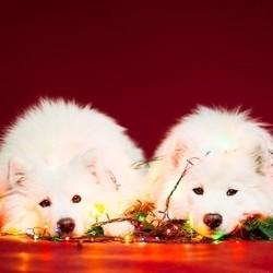 chiens noel