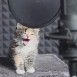 des chatons chantent