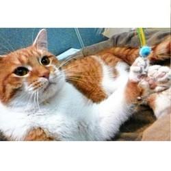 chat 26 doigts argent refuge animalier