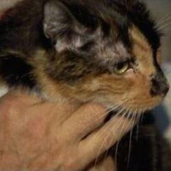 un chat parcourt 300 kilomètres pour retrouver ses maîtres