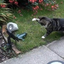 chat peur fausse grenouille