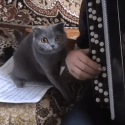chat accordéon