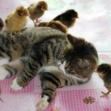 chat adopte poussins chine