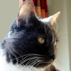 chat âgé, chat senior