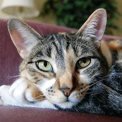 chat visage triangulaire