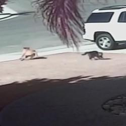 Un chat sauve un enfant attaqué par un chien