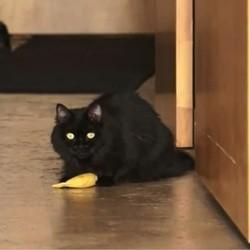 un chat obsédé par sa banane