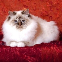 chat race birman