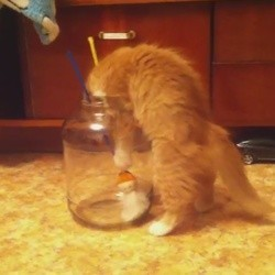 Un chat tente de rentrer dans un bocal