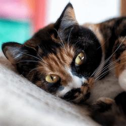 chat écaille de tortue