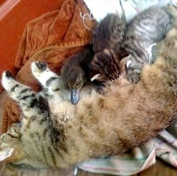 une maman chat adopte un caneton