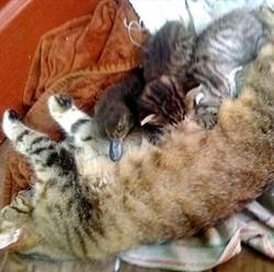 une maman chat adopte un caneton
