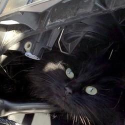 Chat dans le capot