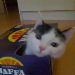 un chat tente de rentrer dans un carton