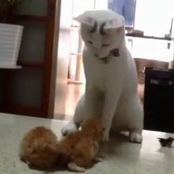 Le chat qui tente d'attirer l'attention de deux chatons (Vidéo du jour)