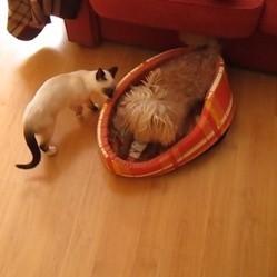 un chat attaque un chien