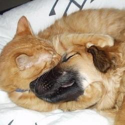 Un chien sauve la vie d'un chat en lui donnant son sang