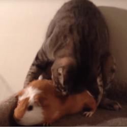 chat cochon d'Inde