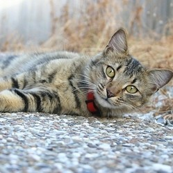 chat collier anti parasitaire