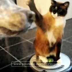 chat aspirateur attaque pitbull