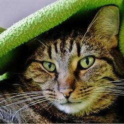 chat dans une couverture verte