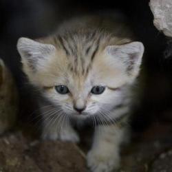 L'un des cinq petits chats des sables nés à Tel-Aviv il y a trois semaines