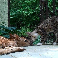 un chat veut jouer avec un faon