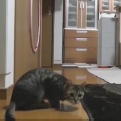 Ce chat est un gardien de but hors pair