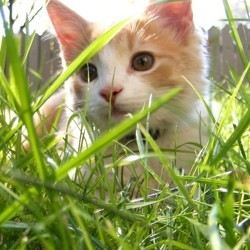 chat dans herbe