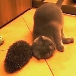 un chat se frotte à un hérisson