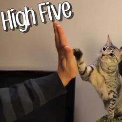Chat attrapeur high five