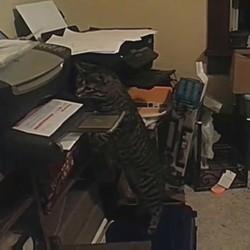 un chat attaque une imprimante