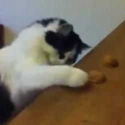 chat intelligent joue bonneteau
