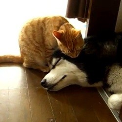 chat leche chien husky
