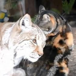 un chat et un lynx meilleurs amis