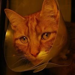 comment repérer la douleur chez le chat