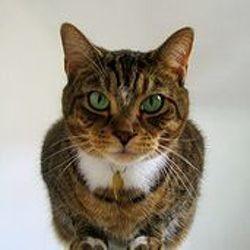 chat ronronnement miaulement