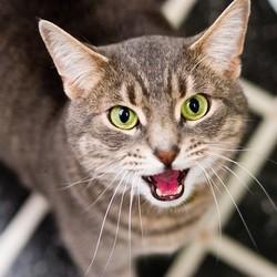 chat miaulement