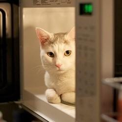 un chat dans un micro-ondes