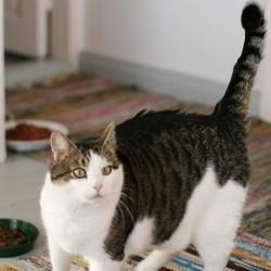 obésité du chat chat obèse friandises alimentation du chat