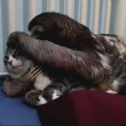 un chat et un paresseux se font des câlins