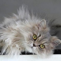 Un chat Persan envoyé dans l'espace