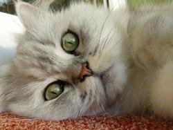 chat perd poils