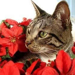 Chat Poinsettia, plantes toxiques